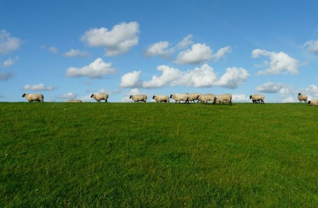 Nordsee Schafe