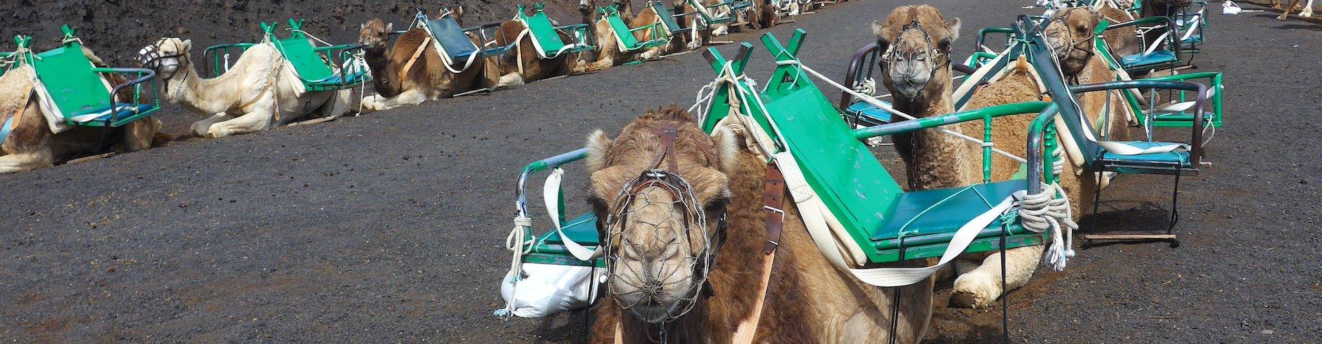 Ausflugsziel Kamelritt Lanzarote