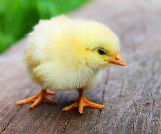 Küken zu Ostern